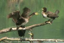 Cormorani autunno (1)