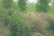 Fischioni grup volo (2)