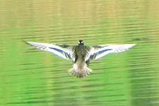 marzaiola da dietro in volo